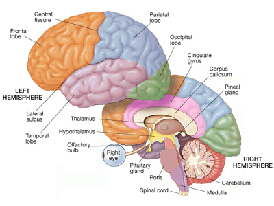The cerebral cortex Part II