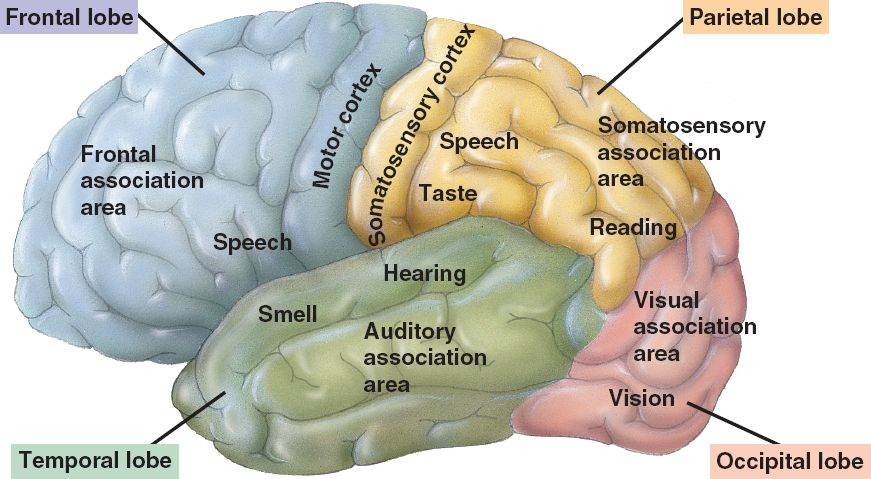 The cerebral cortex Part I
